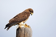 Stock Photo of Swainsons Hawk captured in Colorado.  Also known as the locust hawk, they will eat numerous amounts of these insects.