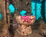Black sea bass on the toilet on the Aeolus shipwreck in North Carolina, USA