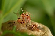Male sponge-wasps (Biorhiza pallida) seek for hatching females, to mate with them immediately. Here, several males have surrounded a female and everyone tries to be the first in mating. Niedersechsische Elbtalaue Biosphere Reserve, Elbe Valley, Lower Saxony, Germany  | Männliche Schwammgallwespen (Biorhiza pallida) suchen die Galle nach gerade schlüpfenden Weibchen ab, um diese gleich zu begatten. Hier haben mehrere Männchen ein Weibchen umringt und jeder versucht bei der Begattung der erste zu sein.