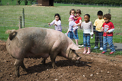 Children looking at a large pig on a visit to a city farm,