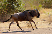 Migrating Blue Wildebeest running , Grumeti, Tanzania