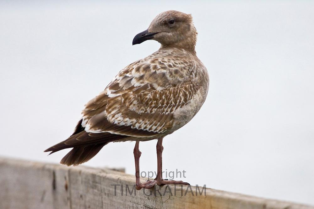 Juvenile Herring Gull by San Francisco bay, California, United States of America