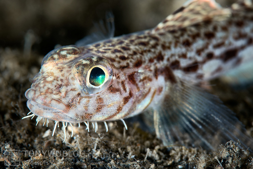 Close-up profile photo of a male hairchin goby (Sagamia geneionema) that measured about 5 centimeters in length. This fish was guarding eggs that had been laid by a female.