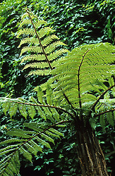 Dicksonia squarrosa - tree fern