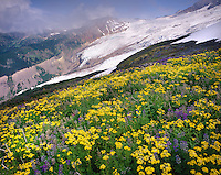 Coleman Glacier of Mount Baker, meadows of Yellow Asters,Helioptrope Ridge  Mount Baker Wilderness Area Washington