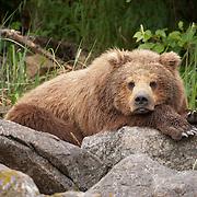 Alaskan brown bear (Ursus middendorffi) resting on a pile of large rocks in Katmai National Park, Alaska.