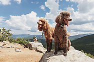 Two muddy poodles on a rock