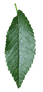Chinese Elm Ulmus parviflora (Height to 15m). Similar to Japanese Elm U. japonica but has a domed crown and oval, dark green leaves, to 6cm long; bases almost equal and teeth are blunt. Native of E Asia, sometimes planted.