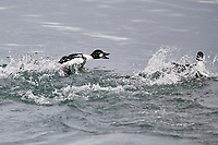 Common goldeneye (Bucephala clangula) chases a rival through the water in the Bow River, Calgary, Alberta, Canada