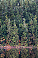 A lone red Vine Maple (Acer circinatum) tree provides a spot of bright fall foliage colour in the forest.  Photographed at Rolley Lake in Rolley Lake Provincial Park, Mission, British Columbia, Canada.