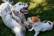 """English Setter """"Rudy"""" am 14.10. 2018 mit seiner Freundin Casie spielen im Garten von Lysa nad Labem, Tschechische Republik.  Rudy wurde Anfang Januar 2017 geboren."""
