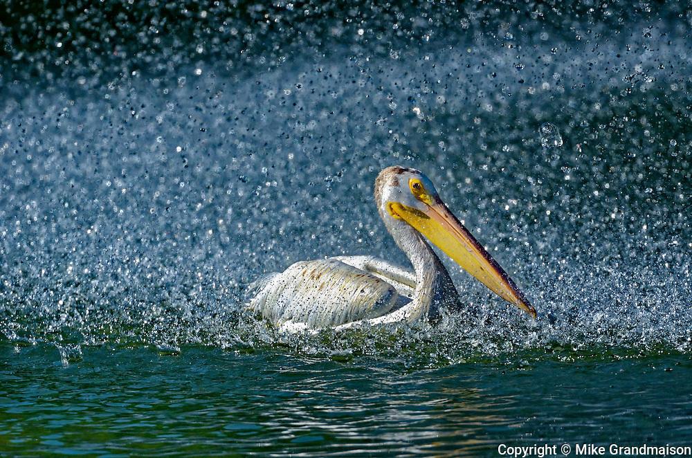 American white pelican (Pelecanus erythrorhynchos) in man-made pond by the fountain<br /> Winnipeg<br /> Manitoba<br /> Canada