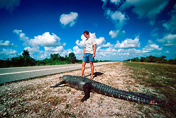 tourist observes a dead American alligator, Alligator mississippiensis, which was shot by people for fun during the night, Everglades National Park, Florida