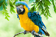 Captive Blue-and-yellow Macaw (Ara ararauna), Belize
