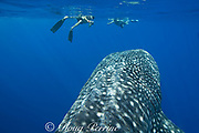 whale shark ( Rhincodon typus ) and snorkelers, Kona Coast of Hawaii Island ( the Big Island ) Hawaiian Islands, USA ( Central Pacific Ocean ) MR 358