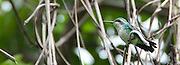 Esmeralda Jardinera (hembra) / colibríes de Panamá.<br /> <br /> Garden Emerald (female) / hummingbirds of Panama.<br /> <br /> Chlorostilbon assimilis.<br /> <br /> Edición de 25 | Víctor Santamaría.
