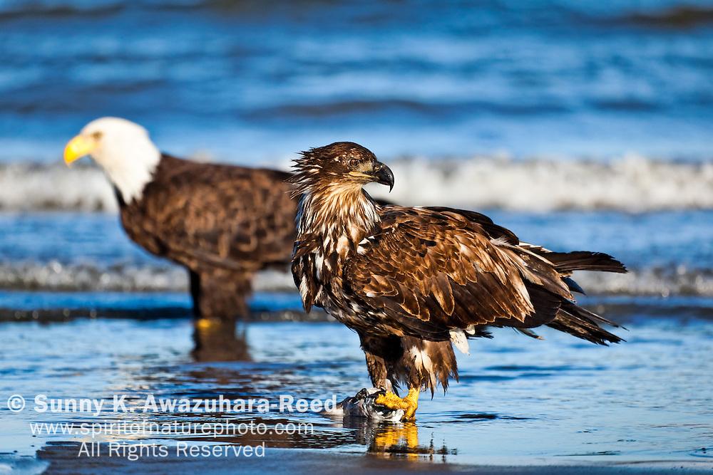 Golden Eagle feeding on fish carcus. . Bald Eagle in the background.  Ninilchik, Kenai Peninsula, Southcentral Alaska, Summer.