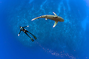 A snorkeler swims with an endangered Oceanic White-tip Shark, Carcharhinus longimanus, swims offshore Cat Island, Bahamas, Atlantic Ocean.