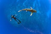 A snorkeler swims with an endangered Oceanic White-tip Shark, Carcharhinus longimanus, swims offshore Cat Island, Bahamas, Atlantic Ocean.