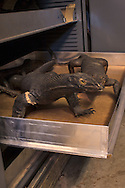 Monitor lizard specimen, part of Tulane University's Natural History Museum collection.