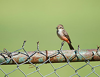Vermilion Flycatcher (Pyrocephalus rubinus) female perched on a fence, Jocotopec, Jalisco, Mexico