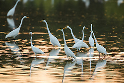 Great egrets on pond at sunset, Great Trinity Forest, Dallas, Texas, USA