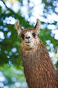 Llama in Brevard, NC in the Blue Ridge mountains of western North Carolina.