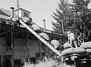 5603Bags of hops being unloaded at the dryer at the E. Clemens Horst hop ranch near Independence, Oregon. September 1, 1942.