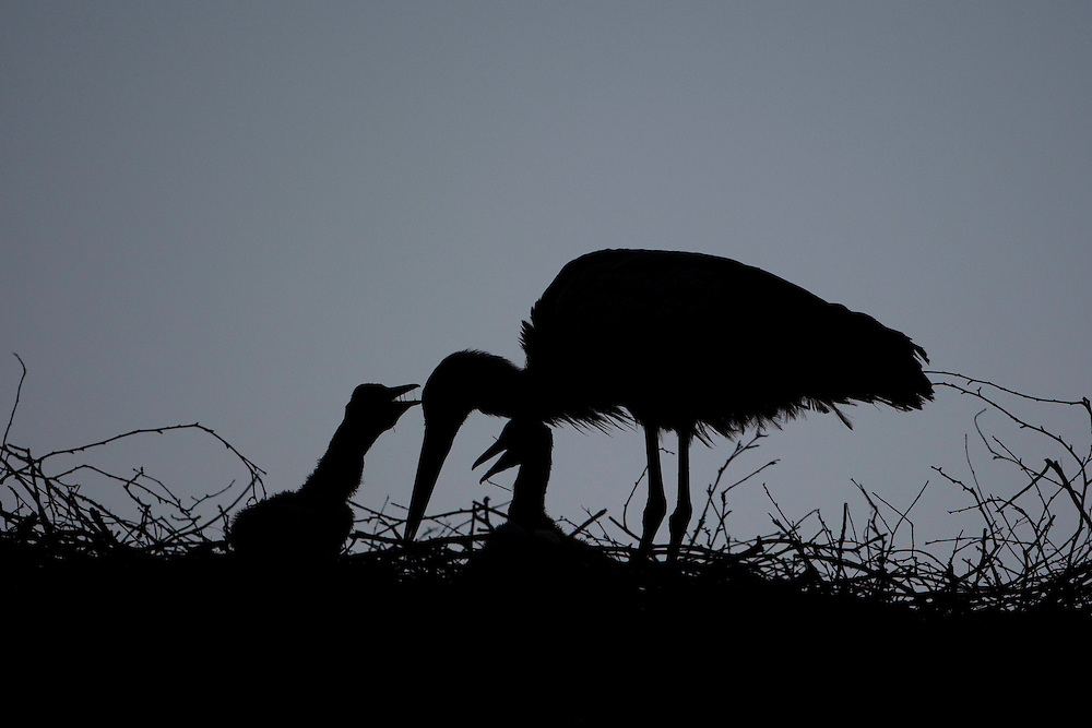 White stork (Ciconia ciconia) adult feeding chicks at nest site at dusk. Rusne, Lithuania. Mission: Lithuania, June 2009