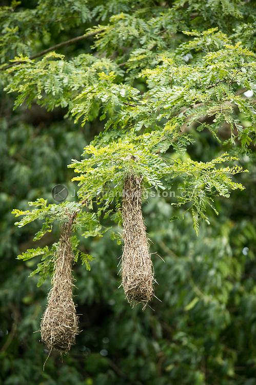 Nest of the Chestnut-headed Oropendola near Colon, Panama.