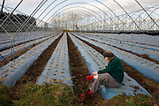 A lone female stops to inspect blisters while on a farmer's land where winter polytunnels are empty of crops.