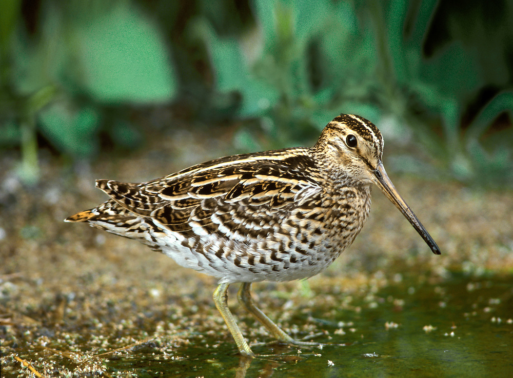 Great Snipe Gallinago media. Superficially very similar to a Snipe. Compared to that species and in all plumages, note the proportionately shorter bill, three striking white wingbars and more extensively barred underparts. When taking off,the outer tail feathers are revealed as being largely white. Great Snipe usually favour drier habitats than Snipe; Stinging Nettle-covered wetland margins are ideal for migrants. The species breeds in eastern Europe and winters in Africa. Most records in our region (four or five in a good year) occur in autumn and in the northern isles.