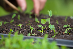 Pricking out seedlings of Eryngium bourgati 'Purple Form'. Holding by cotyledon leaves and transferring into module tray