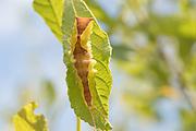 Puss moth (Cerura vinula) caterpillar parasitised by wasp larvae. Surrey, UK.