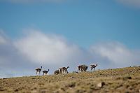 GUANACOS (Lama guanicoe), RESERVA NATURAL VILLAVICENCIO, LAS HERAS, PROVINCIA DE MENDOZA, ARGENTINA