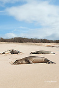 Hawaiian monk seals, Monachus schauinslandi, Critically Endangered endemic species, resting on beach at west end of Molokai, Hawaii; note scars on juvenile male in foreground from recent shark attack; another juvenile male in background cuddles up to a young female that is not his mother
