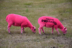 Latitude Festival 2017, Henham Park, Suffolk, UK. Each year the sheep are dyed pink.  One has also been stencilled with BBC Music Introducing