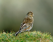 """Twite Carduelis flavirostris L 13-14cm. Upland counterpart of Linnet. Bill is grey in spring and summer but yellow in autumn and winter (Linnet's is grey at all times). Throat is unstreaked. Sexes are very similar.<br /> Adult male in summer has streaked brown upperparts, pinkish rump and white margins to flight and tail feathers. Pale underparts are heavily streaked. In winter, head and breast are warm buffish brown. Adult female and juvenile are similar to winter male but rump is brown, not pink. Voice Utters a sharp tveeht call. Song is a series of trilling notes. Status Local breeder on N heather moors and coasts. In winter, favours saltmarshes and coastal fields; migrants from N Europe boost numbers in winter. """""""