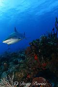 Caribbean reef shark, Carcharinus perezi, Bahamas ( Western Atlantic Ocean )