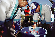 """Judges from Japan evaluating contestants at a Koi fish show in California. Koi are a variety of the common carp, Cyprinus carpio. Today Koi are bred in nearly every country and considered to be the most popular fresh-water ornamental pond fish. They are often referred to as being """"living jewels"""" or """"swimming flowers"""". If kept properly, koi can live about 30-40 years. Some have been reportedly known to live up to 200 years. The Koi hobbyists have bred over 100 color varieties. Every Koi is unique, and the patterns that are seen on a specific Koi can never be exactly repeated. The judging of Koi at exhibitions has become a refined art, which requires many years of understanding the relationship between color, pattern, size and shape, presentation, and a number of other key traits. Prize Koi can cost several thousand dollars  USA. MODEL RELEASED."""