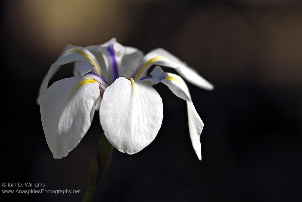 Pale Blue Iris (Unglrius sp.) - Tasmania