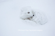 01863-01614 Arctic Fox (Alopex lagopus) curled up in winter Churchil Wildlife Management Area Churchill, MB