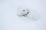 01863-01614 Arctic Fox (Alopex lagopus) curled up in winter Churchil Wildlife Management Area Churchill, MB