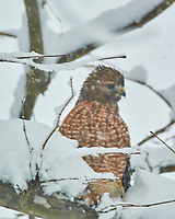 Red-shouldered Hawk (Buteo lineatus). Image taken with a Nikon N1V3 camera and 70-300 mm VR lens.