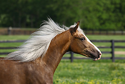 Rocky Mountain Stallion - Dixie Dell<br /> Owned by Mary Lipginski KY<br /> © Hippo Foto - Bob Langrish