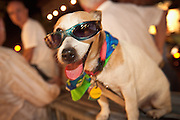 A dog wearing a costume during Fantasy Fest halloween parade in Key West, Florida.