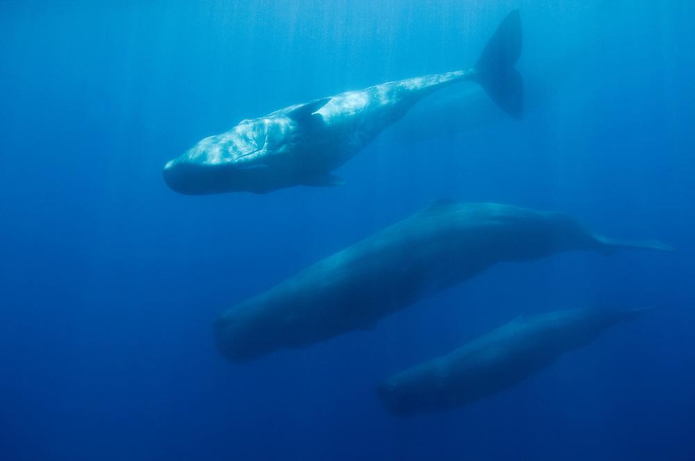 Sperm whale, Physeter macrocephalus, Pico, Azores, Portugal
