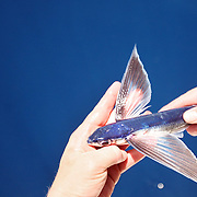 Flying fish, grounded.