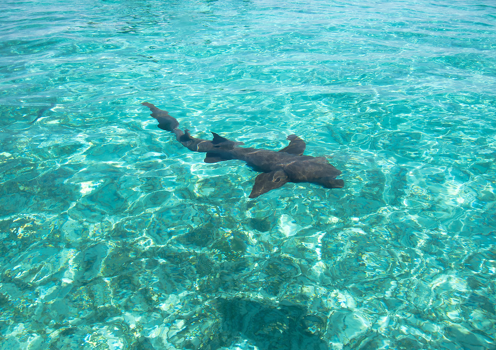 Hol Chan, Belize 8/31/2012.Nurse Shark coming in for a meal at Shark Ray Alley..Alex Jones / www.alexjonesphoto.com