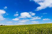 Mustard field in the Totara Valley, Canterbury, South Island, New Zealand